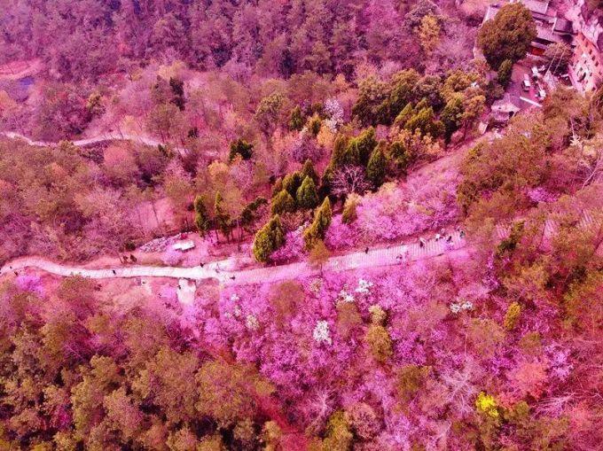 天台赤城山紫荆花